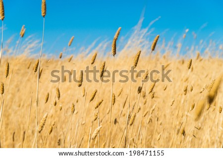 Dry grass in summer in the Australian bush in the Golden Plains Shire between Geelong and Ballarat. - stock photo