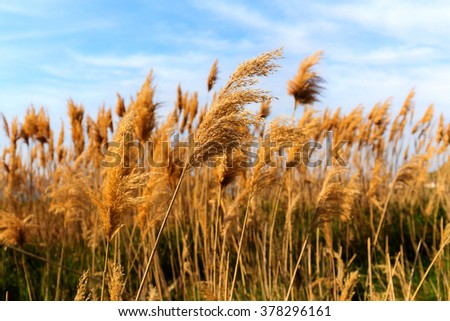 dry grass on a background of blue sky - stock photo