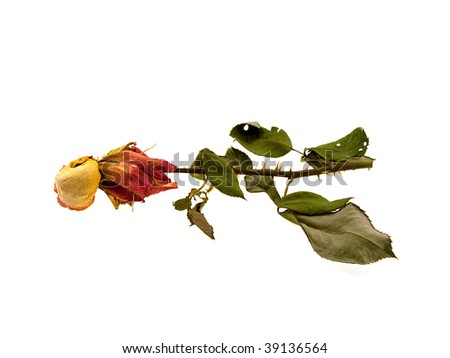 Dry green rose isolated on a white background - stock photo