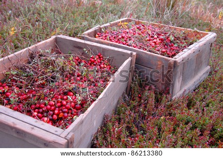 Dry Harvested Cranberries in a Create - stock photo