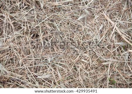 dry hay grass yellow dry background nature - stock photo