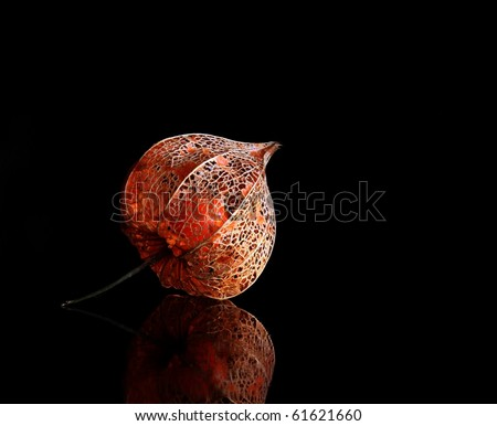 chinese lantern plant stock photos images pictures shutterstock. Black Bedroom Furniture Sets. Home Design Ideas