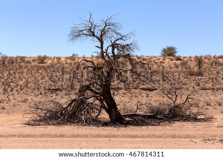 dry landscape with tree in Kgalagadi transfontier park, South, Africa, Typical south african landscape