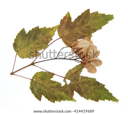 dry leaf and seeds of green maple branch tree isolated on white background  - stock photo
