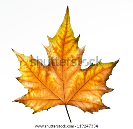 dry leaf falling from a tree in autumn