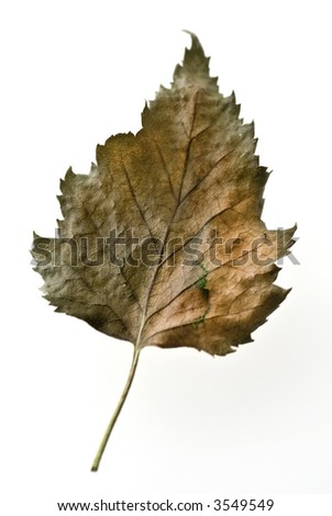 dry leaf from a birch - stock photo