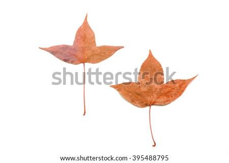 Dry leaf isolated on white background - stock photo