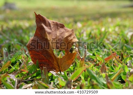 Dry leaves, fall to the the grass.