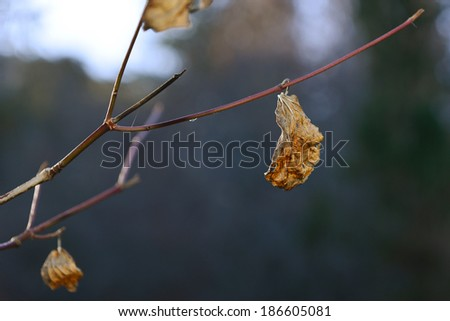 Dry leaves hanging on a branch  - stock photo