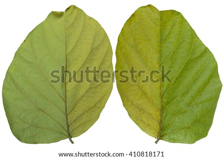 Dry Leaves, Isolated on white background