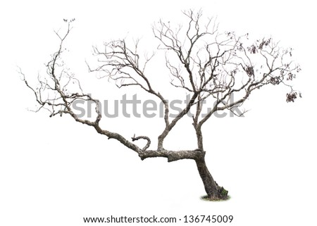 Dry litchi tree, isolated on white background - stock photo