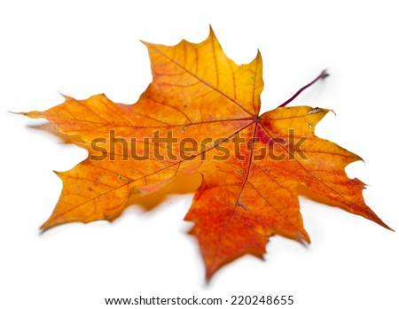 dry maple leaf - stock photo
