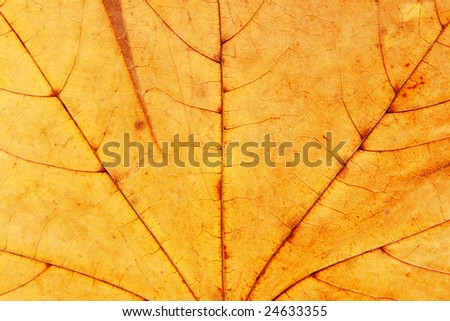 dry maple leaf macro texture