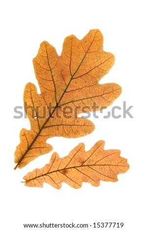Dry oak leaves isolated over whte background