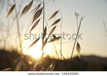 Dry oat in sunset over the hill