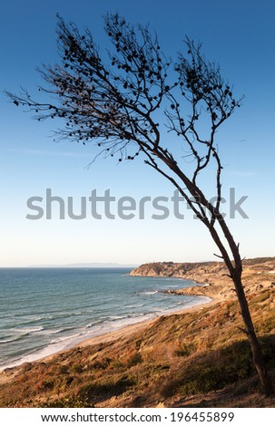 Dry pine tree on the coast of Gibraltar strait in Morocco - stock photo