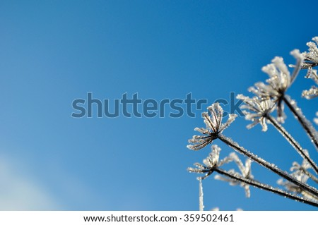 Dry plant covered with snow and ice against the blue sky in winter time. Winter natural background. Space in left side. - stock photo