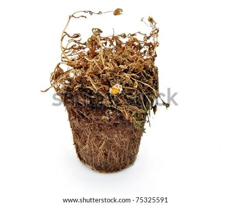 Dry plant isolated on white background - stock photo