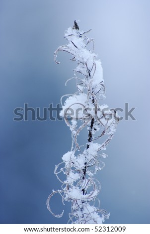 Dry plant with frost and snow