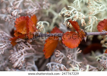 dry Polar Birch macro on moss - stock photo