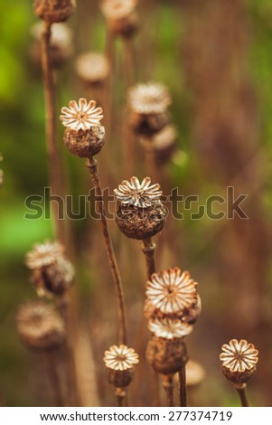 Dry poppy plant in the garden close up - stock photo