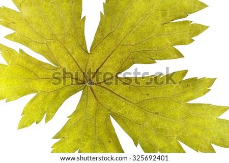 Dry pressed Geranium Leaf on white ground. - stock photo