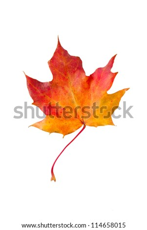 dry red autumn maple leaf, isolated on white background