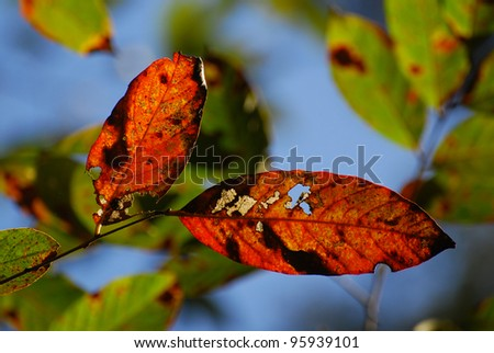 Dry Red leaves with light penetration