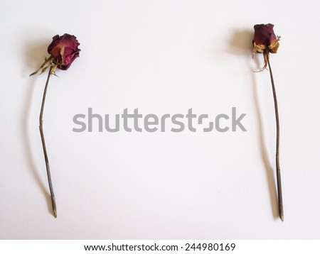 Dry red rose isolate on background - stock photo