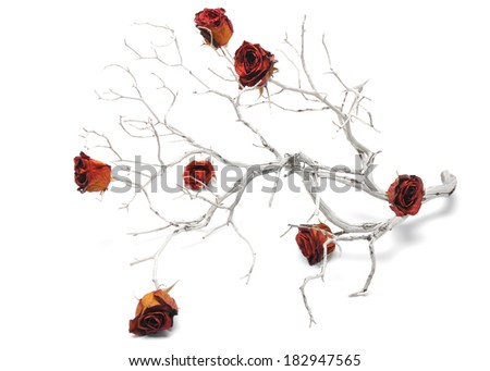 Dry red roses on a dried out branch shot in an indoor setting. - stock photo
