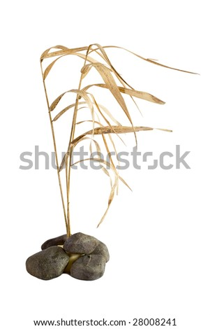 Dry reed and stones isolated over white