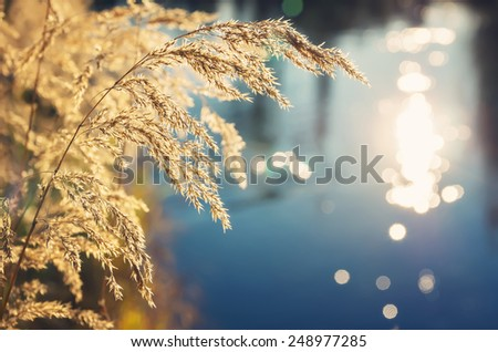 Dry reed bending over the water. Retro style. - stock photo