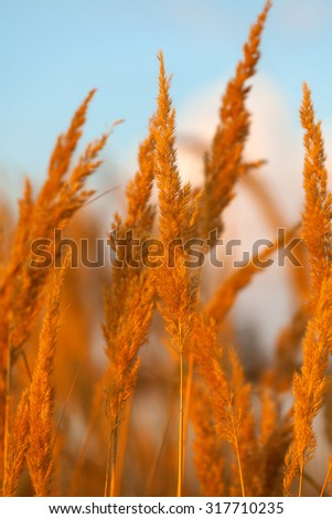 Dry reed on a meadow and blue sky background - stock photo