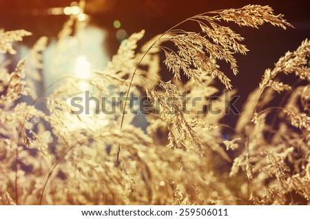 Dry reed on the river in the sunshine. Retro Style. - stock photo