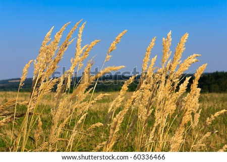 Dry reed with meadow and blue sky background - stock photo