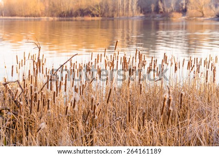 Dry Reeds with flowers close to the Dnieper river at the end of winter. - stock photo
