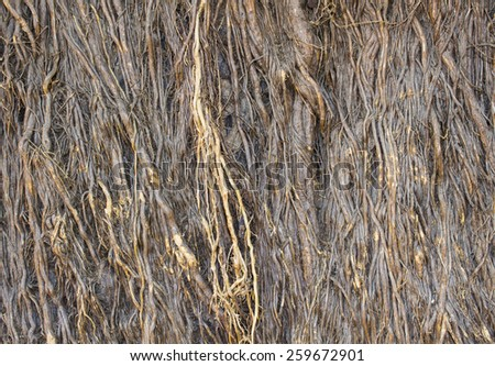 Dry root of epiphytic on the big tree texture background - stock photo