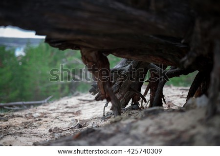 Dry roots of dead stump tree in forest - stock photo
