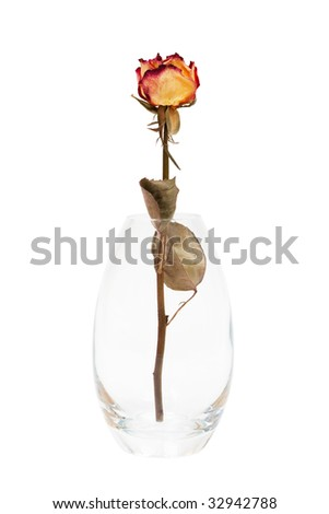 dry rose in the vase on a white background - stock photo