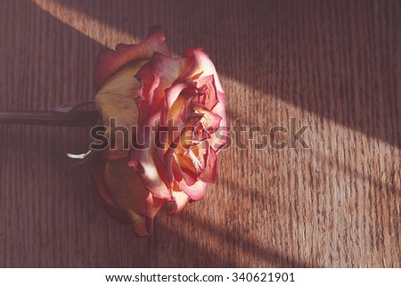Dry rose on a wooden table in a beam of sunlight