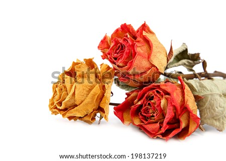 Dry roses isolated on a white background. - stock photo