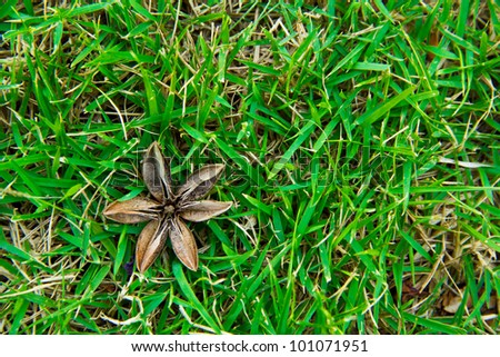 Dry seeds of the Queen's Crape-myrtle(Lagerstroemia speciosa) drop on green grassland - stock photo