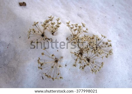 dry snow flower upon snowy ground in evening