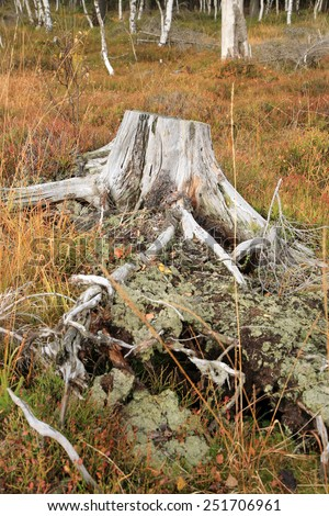 Dry stump. Autumn, fall in the forest. - stock photo