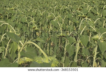 Dry sunflower in field, outdoor, horizontal