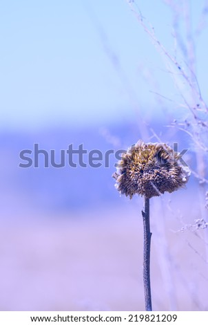 Dry sunflower plant in a field background with color filters, late autumn, frosty morning, end of season - stock photo