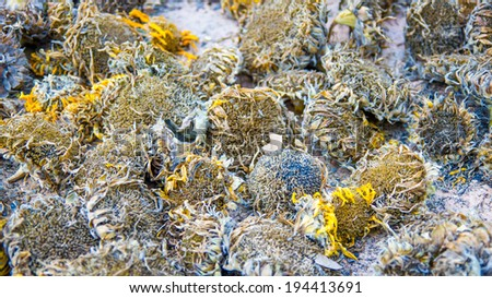 Dry Sunflowers on floor - stock photo