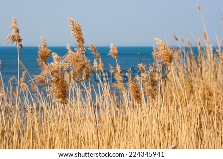 Dry thickets of reeds on the blue sea - stock photo
