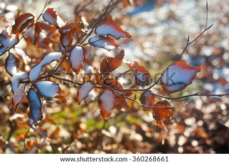 Dry tree branches with dry brown leaves and first snow on them. Sunny but cold winter morning near Lviv, Ukraine.  - stock photo