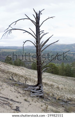 Dry tree on a background of an autumn wood. - stock photo
